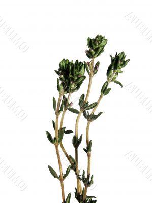 Thyme, Thymus citriodorus