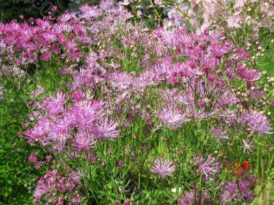 Meadow-rue, Thalictrum aquilegifolium