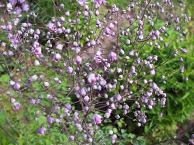 Buds meadow rue