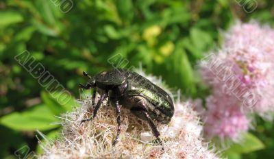 May beetles