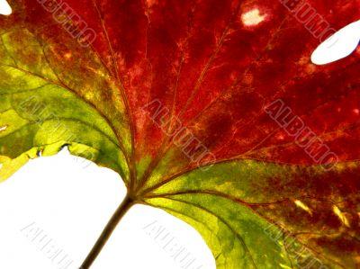 red-green leaf