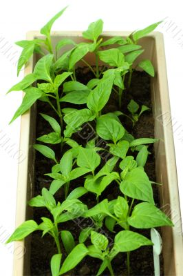 Seedlings of sweet pepper