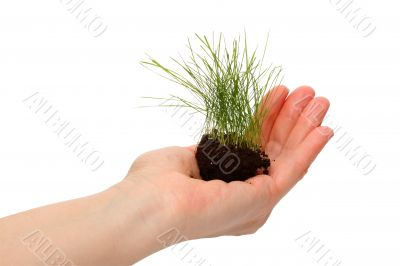 Lawn grass in a human hand