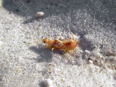 Mole cricket on the sand