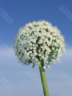Inflorescence of onion. Vertical
