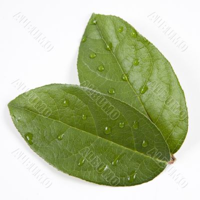 Green leaves with water droplets, Taken Closeup and isolated on white background