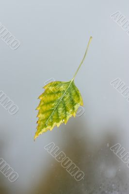 Wet autumn leaves, clinging to the window