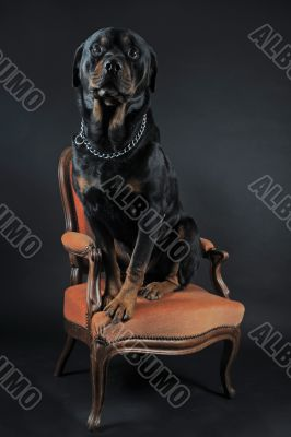 rottweiler on an armchair