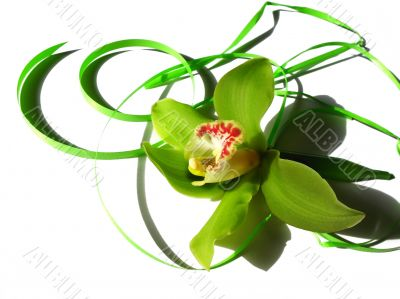 Blooming orchid Cymbidium Sessa Green Beauty