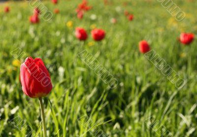 Meadow. Tulips.