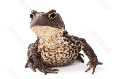 Curious toad