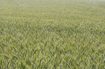 cultivated oats