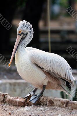 Spot-Billed or Grey Pelican