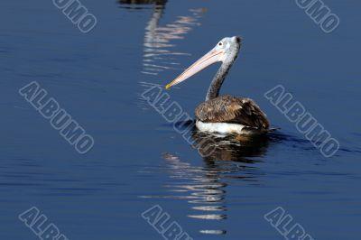Spot Billed Pelican