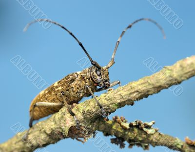 Beetle on a dry branch