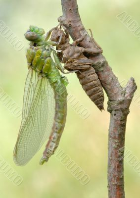 Birth of a dragonfly (series 5 photos)
