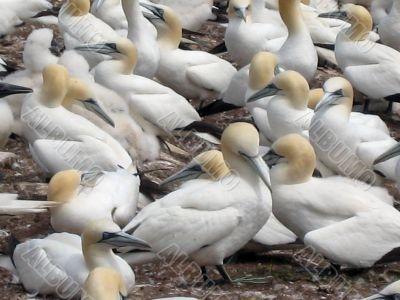 northern, gannets