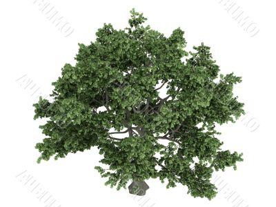 Sugar maple or Acer saccharum