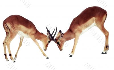 Two isolated fighting antelope