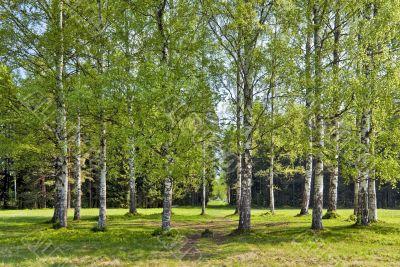 Spring birches circle