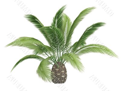 Canary date palm or Phoenix canariensis