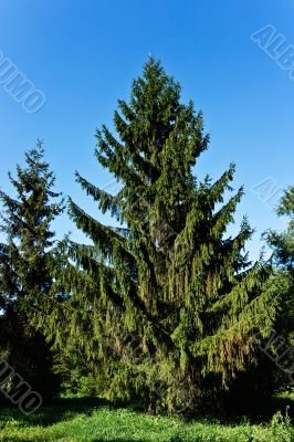 Fine summer fur-tree ready to Christmas.