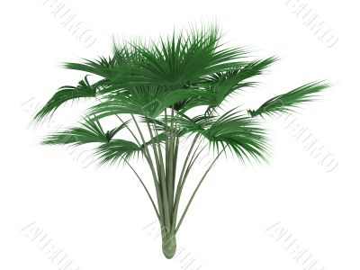 Coco-de-mer palm or Lodoicea maldivica