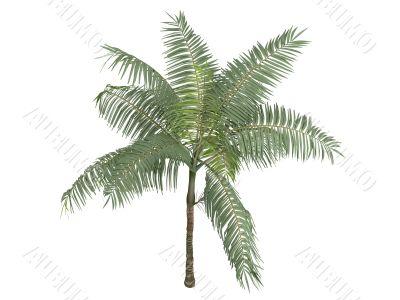 Princess palm or Dictyosperma album