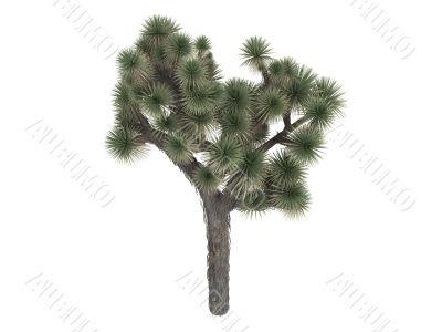 Joshua tree or Yucca brevifolia