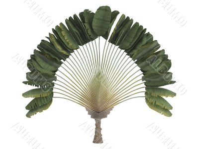Traveler`s palm or Ravenala madagascariensis