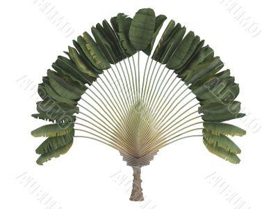 Traveler`s palm or Ravenala madagascariensis