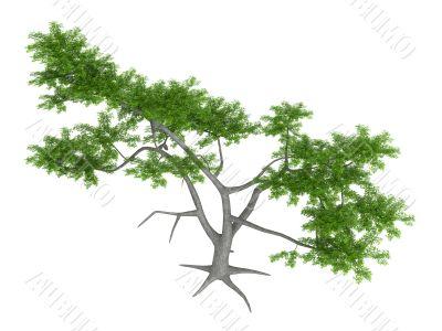 Whitethorn acacia or Acacia constricta