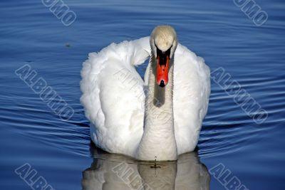 Severe swan