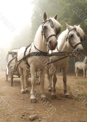 Deuce horses hitched to a carriage