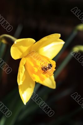 The Daffodil And The Bee