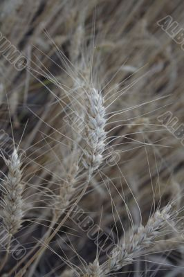 ear of cereals at harvest