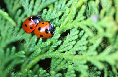 ladybugs/ladybirds