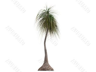 Ponytail Palm or Nolina recurvata
