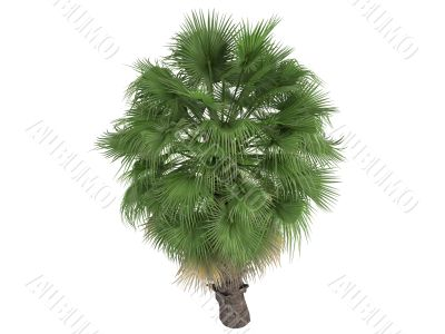 Desert Fan Palm or Washingtonia filifera