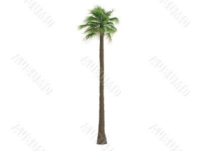 Desert Fan Palm or Washingtonia filifera