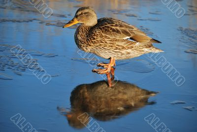 Duck on thin ice