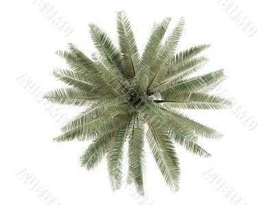 Chilean Wine Palm or Jubaea chilensis