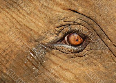 Calf Elephant`s Crying Eye