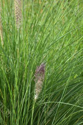 Green grass with seed head