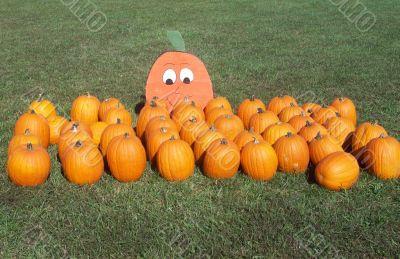 Pumpkins in grass field by a Pumpkin Patch