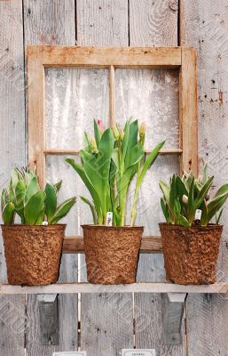 Tulip plants on windowsill