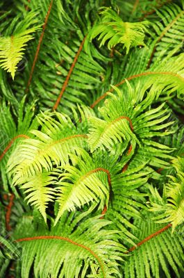 Lush fern leaves