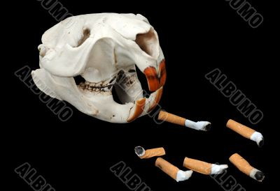 Beaver`s Skull and Cigarette Butts
