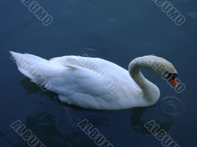 swans, swimming, wing,water, nature