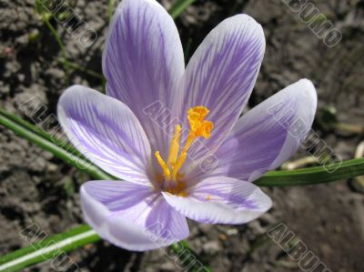 White crocus with purple veins